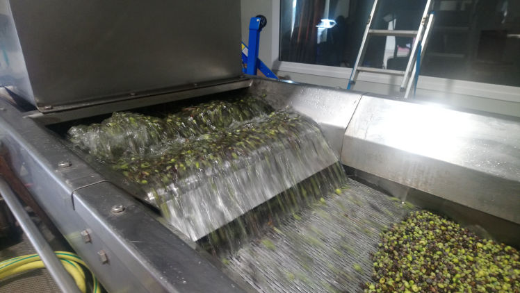 Washing olives - Kefalonia Liocharis Olive oil