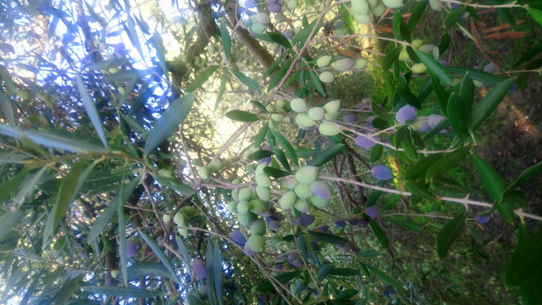 Olives in Kefalonia